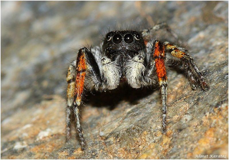 Aranha papa-moscas (Philaeus chrysops) Philae11