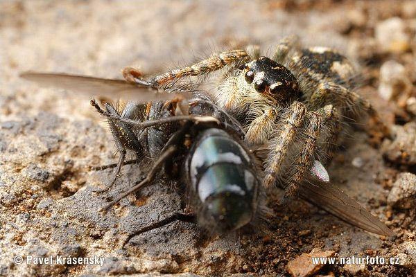 Aranha papa-moscas (Philaeus chrysops) Philae12