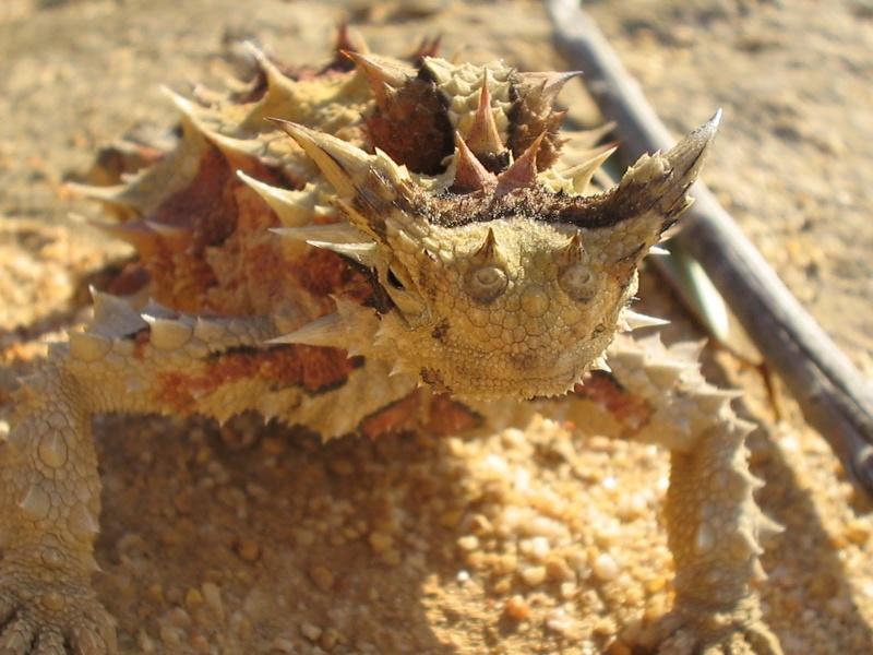 Diabo espinhoso (Moloch horridus) Photo210