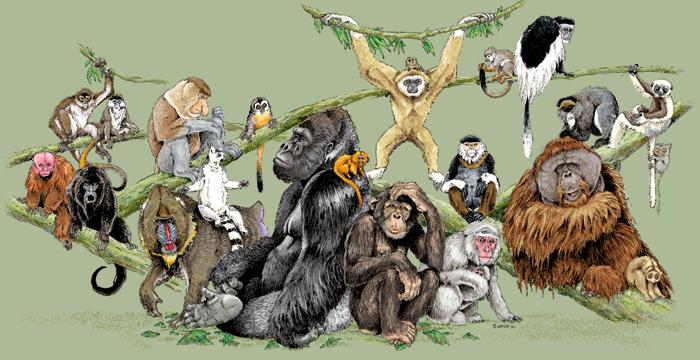 Vídeos de Primatas Primat10