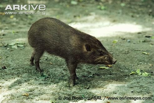 Porco Pigmeu VS Guaxinim Pygmy-10