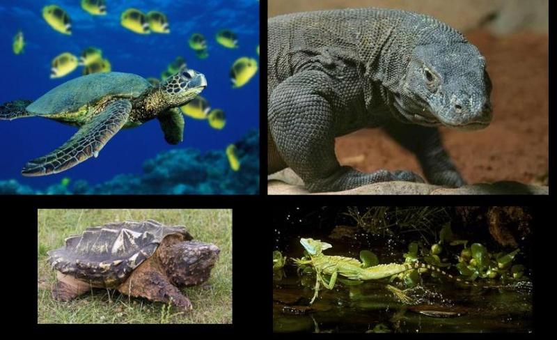 Vídeos de Répteis (Com exceção dos Crocodilianos e Serpentes) Rept10