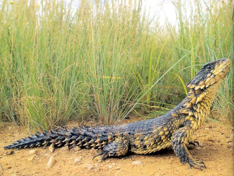 Lagarto Espinhoso (Cordylus giganteus) Reptil10