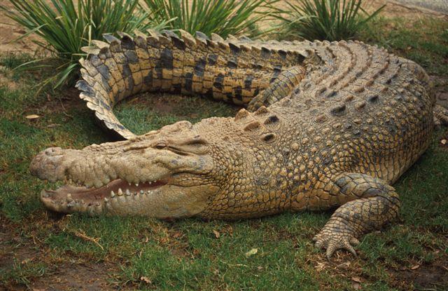 Tigre de Bengala VS Crocodilo Marinho - Águas Rasas Salt_w10