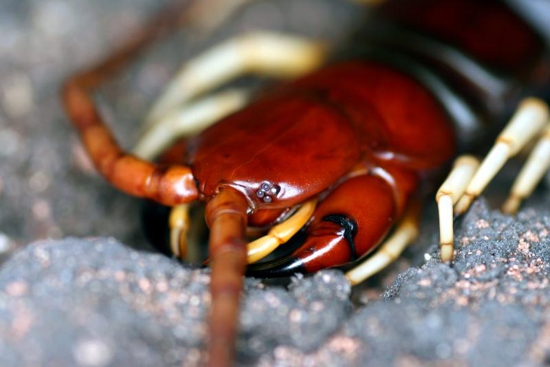 Lacraia Gigante (Scolopendra gigantea) Scolop11