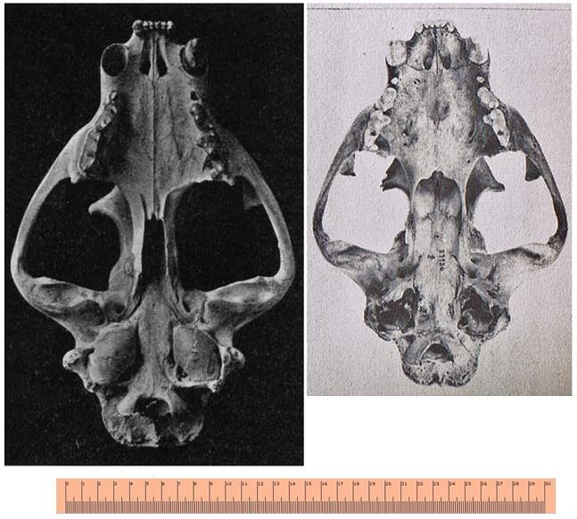 Cougar da America do Norte VS Leopardo Africano Skull210