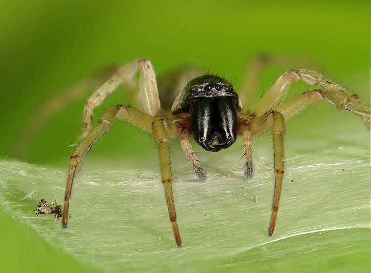 Aranha Amarela (Cheiracanthium) Spider10