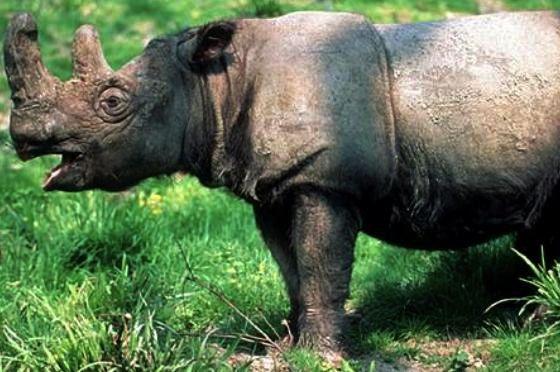 Banteng VS Rinoceronte de Sumatra  Sum10