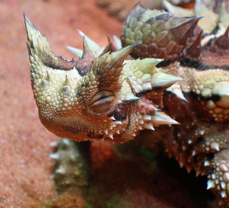 Diabo espinhoso (Moloch horridus) Thorny10