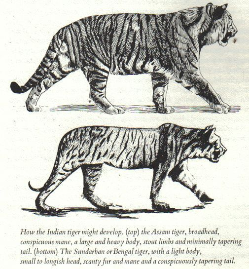 Felinos - Pesos e medidas Tigers11