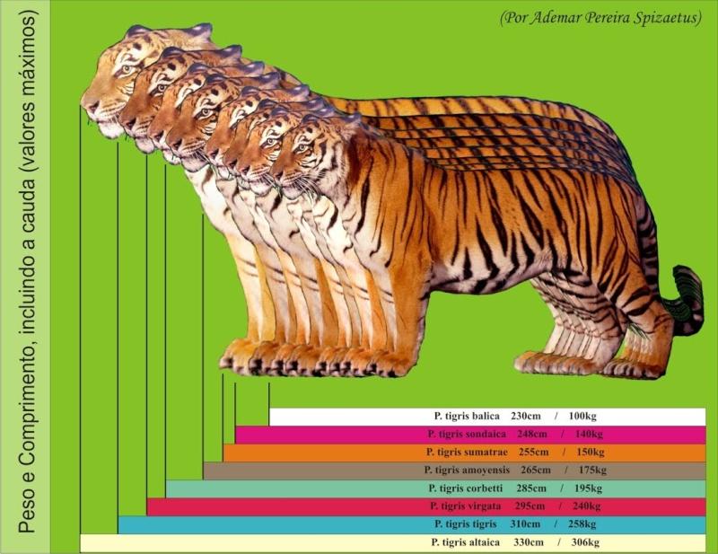 Felinos - Pesos e medidas Tigre_11