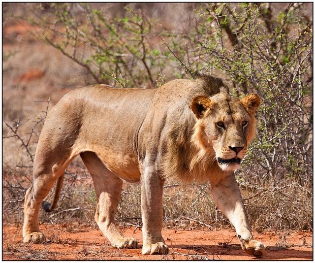 Leão de Tsavo VS Urso Preto Americano Tsavo10