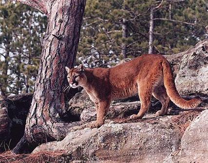 Cougar da America do Norte VS Leopardo Africano Tt10