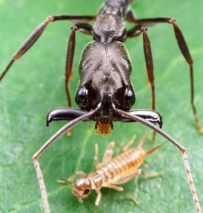 Formiga Mandíbula Saltadora (Odontomachus) Uqazu10