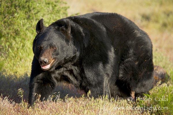 Gorila silverback VS Urso Preto Americano  Ursus-10