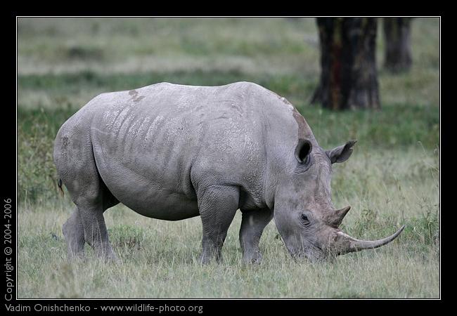 Rinoceronte Branco VS Elefante Pigmeu de Bornéu  White-10