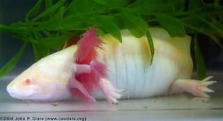 fiche axolotl Albino10