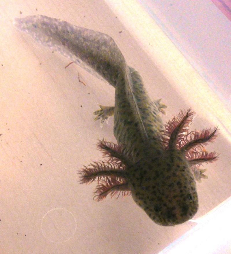 mes 3 axolotls : nouvelles photos! P1020534