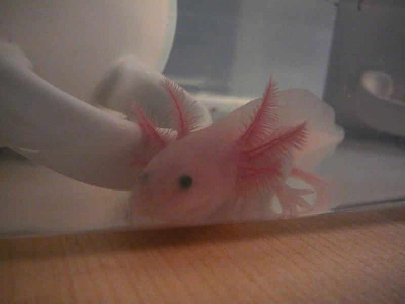 mes 3 axolotls : nouvelles photos! P1020537