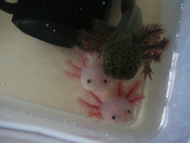 mes 3 axolotls : nouvelles photos! P1020729