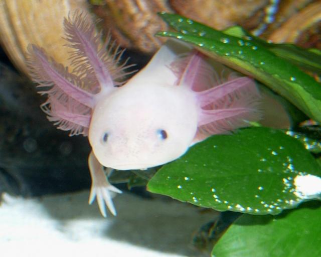 mes 3 axolotls : nouvelles photos! P1020826