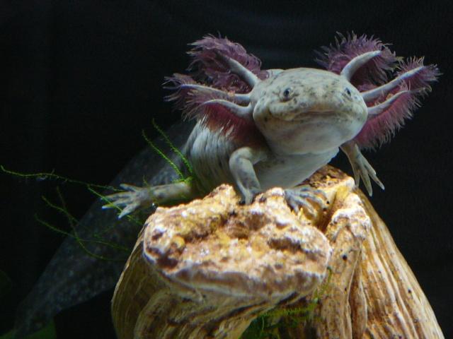 mes 3 axolotls : nouvelles photos! P1030022