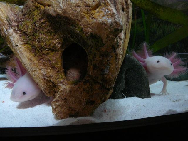 mes 3 axolotls : nouvelles photos! P1030418