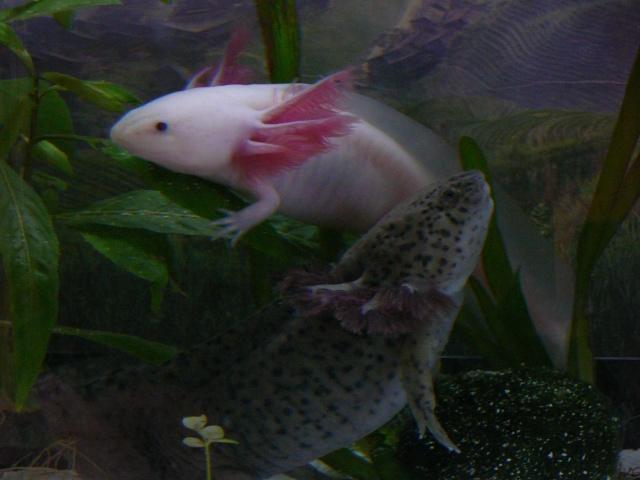 mes 3 axolotls : nouvelles photos! P1030420