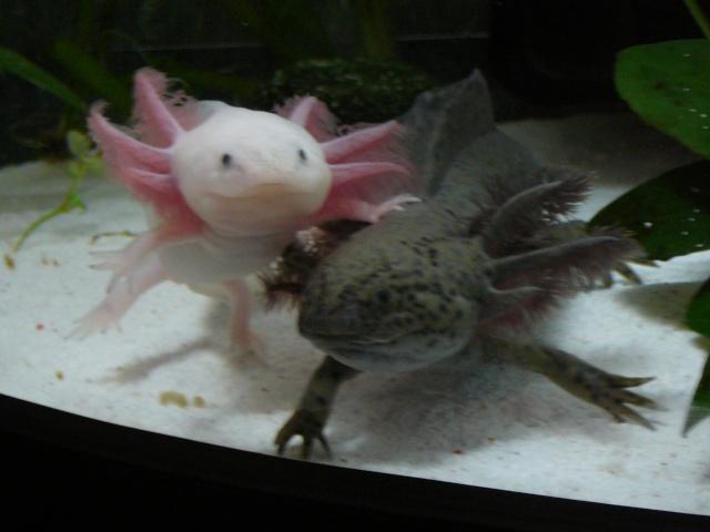 mes 3 axolotls : nouvelles photos! P1030522