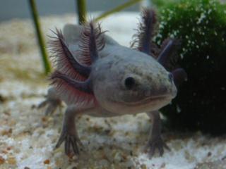 fiche axolotl P1030741