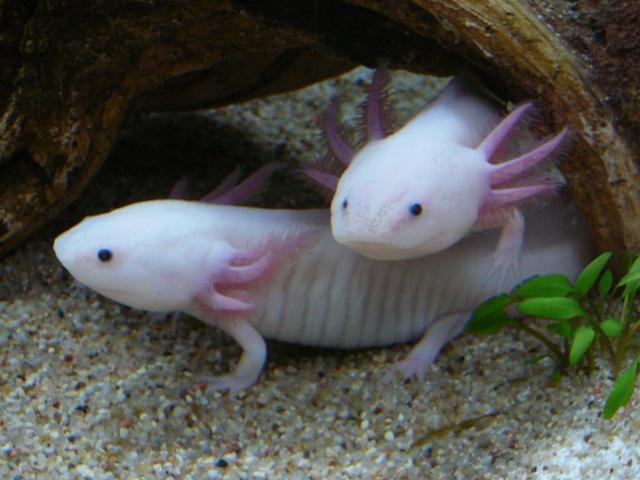 mes 3 axolotls : nouvelles photos! P1030829