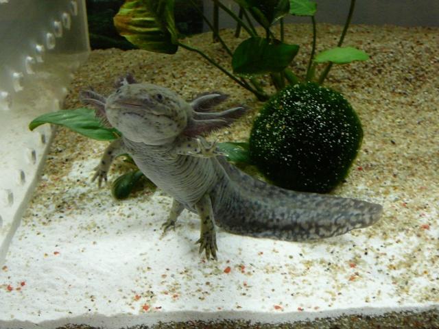 mes 3 axolotls : nouvelles photos! P1030917