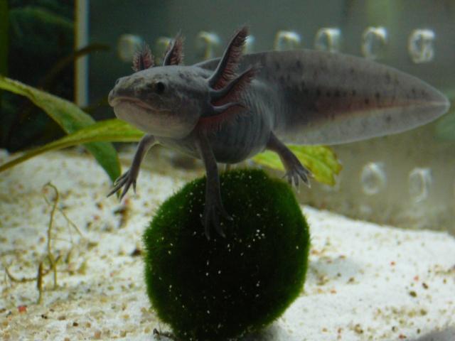 mes 3 axolotls : nouvelles photos! P1030918