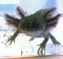 mes 3 axolotls : nouvelles photos! P1020535