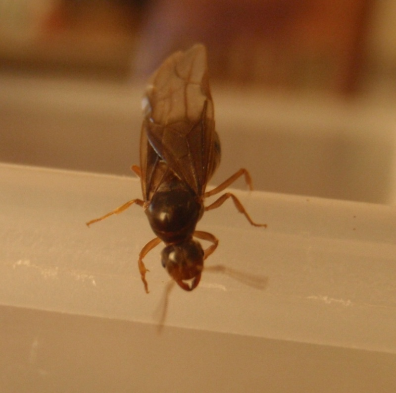 gynes (lasius flavus?) Pa302410