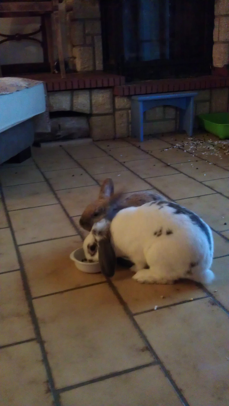 Caramelle , lapine femelle née en mars 2011 ( Adoptee ) Imag0111
