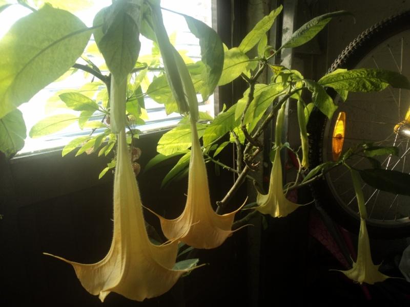 Brugmansia corriace ! Dsc04040