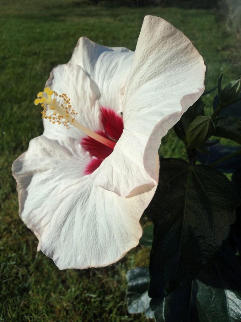 Hibiscus sinensis Dsc04216