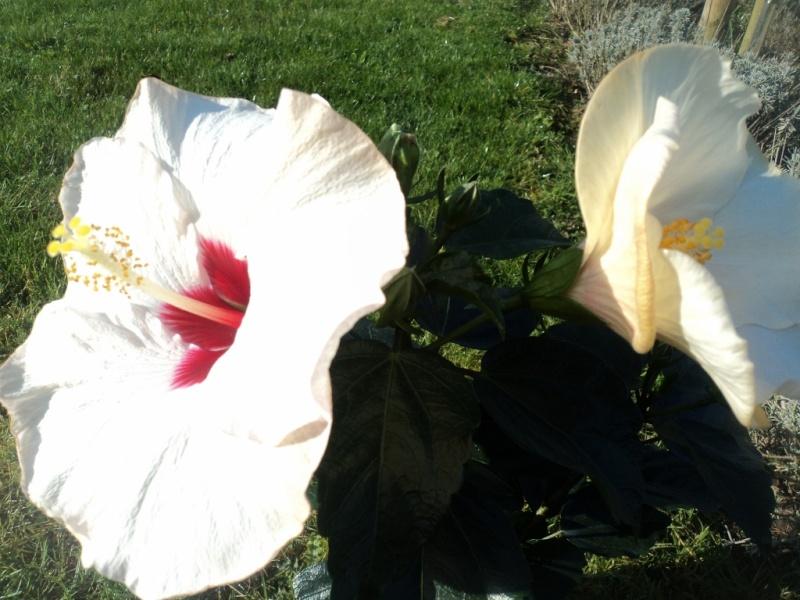 Hibiscus sinensis Dsc04217
