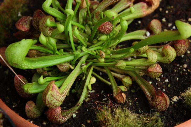 Sarracenia psittacina Img_9810
