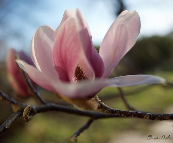 Tulipier _1030412