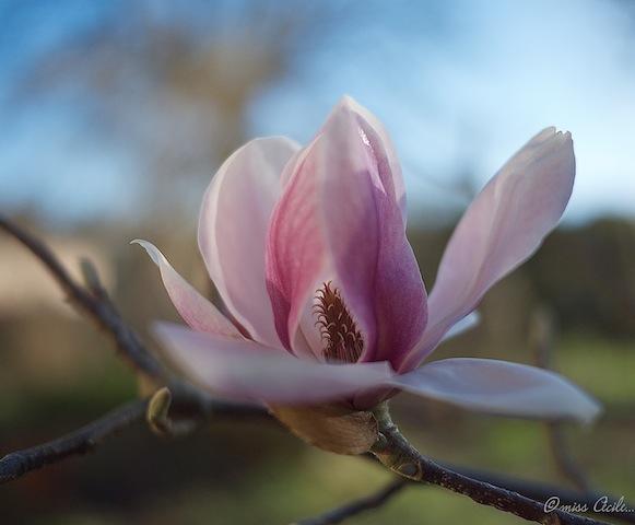 Tulipier _1030414