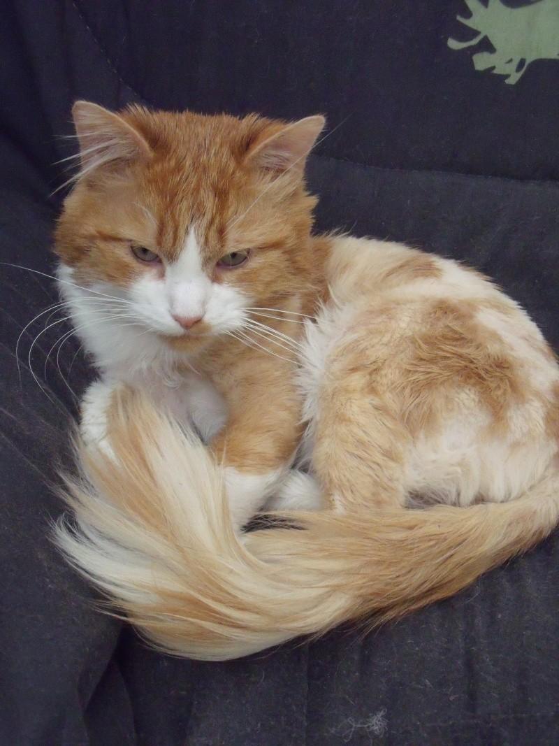 CARAMEL, roux et blanc poils mi-longs, 5 ans (57) Carame11