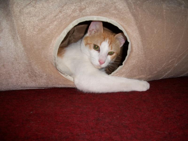 MILLE-FEUILLE né en avril 2011 - roux et blanc - FELV+ Mimil210