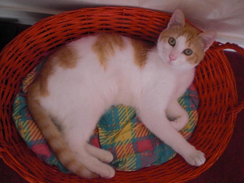 MILLE-FEUILLE né en avril 2011 - roux et blanc - FELV+ Mimil310