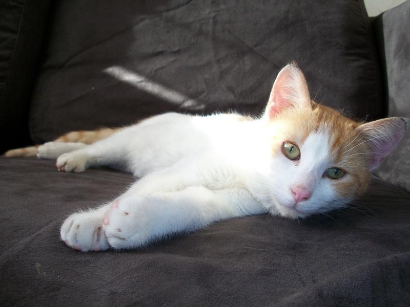 MILLE-FEUILLE né en avril 2011 - roux et blanc - FELV+ Mimil410