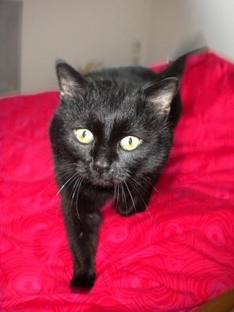 SOREN, 8 ans, câlinou FIV à adopter sans chat (27) Soren110