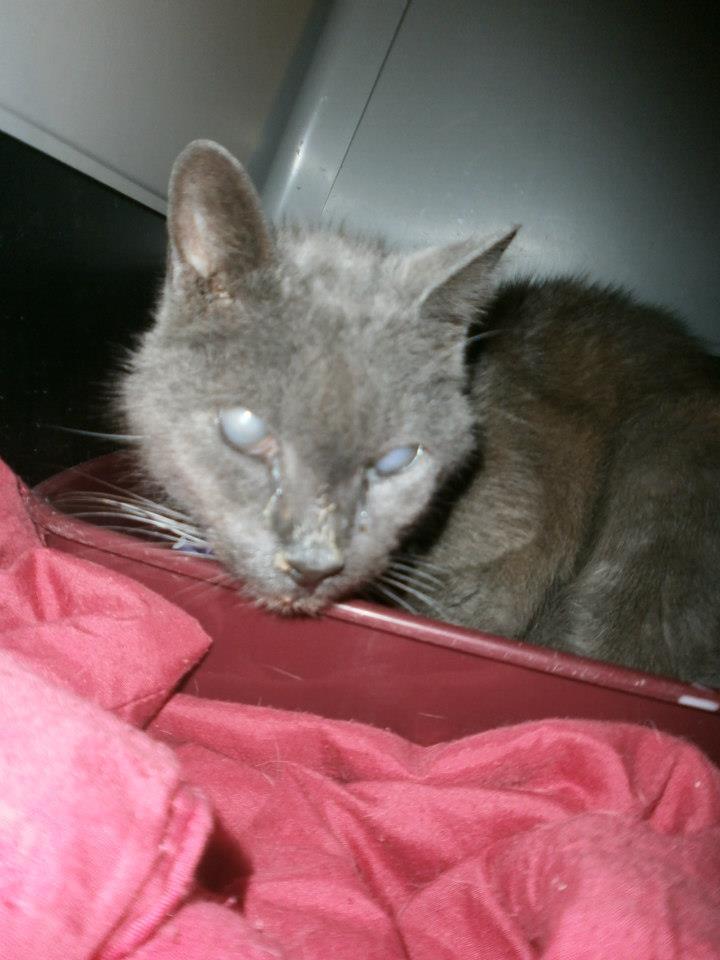 Chat trouvé, type chartreux, aveugle et agé... 60062810