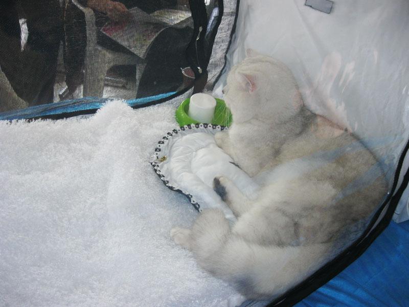 Международная выставка кошек 20-21 апреля в Минске. Фотоотчет Pictur79