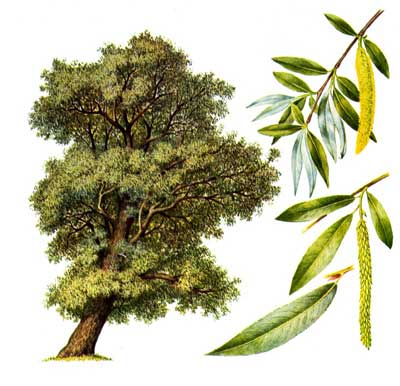 зодиак - Магические свойства деревьев. Магия деревьев. Деревья в магии. Ddd10